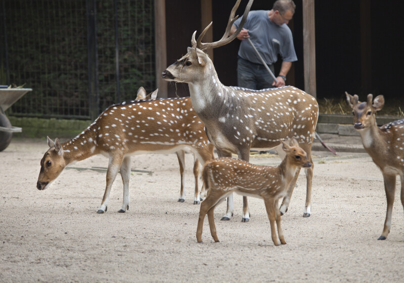 Axis Deer Group at the Artis Royal Zoo