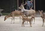 Axis Deer Group at the Artis Royal Zoo