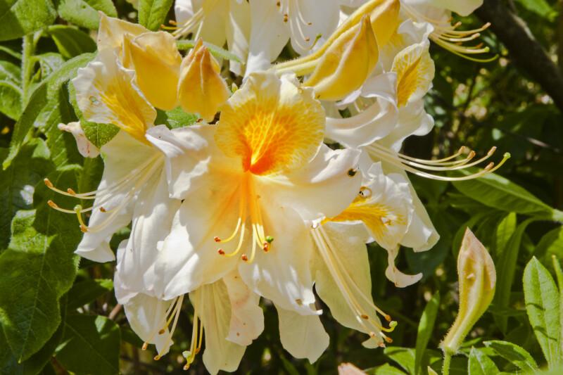 "Azalea ""Toucan"" Flowers"