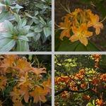 Azaleas photographs