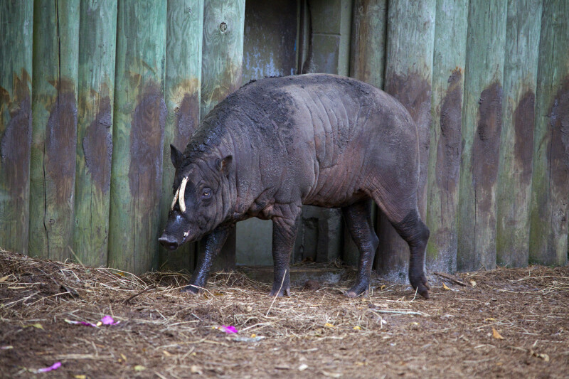 Babirusa by Fence