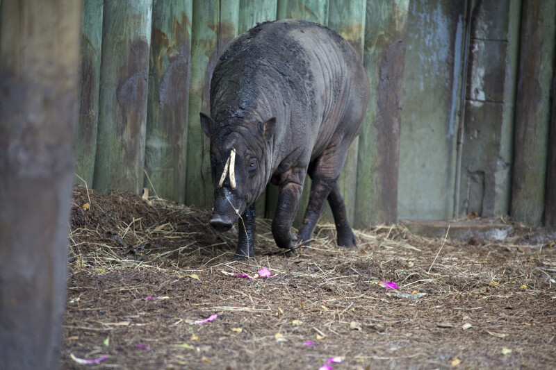 Babirusa Walking