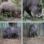 Babirusa photographs