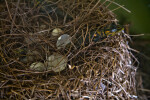 Baby Alligator Emerging from Egg