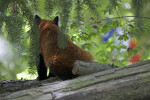 Back of a Red Panda