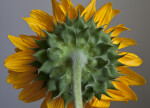Back of a Sunflower