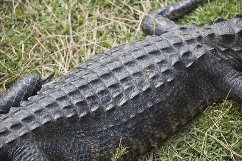 Back of an American Alligator