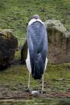 Back of Maribou Stork