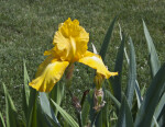 Back Side of a Yellow Iris Flower