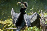 Back View of an Anhinga