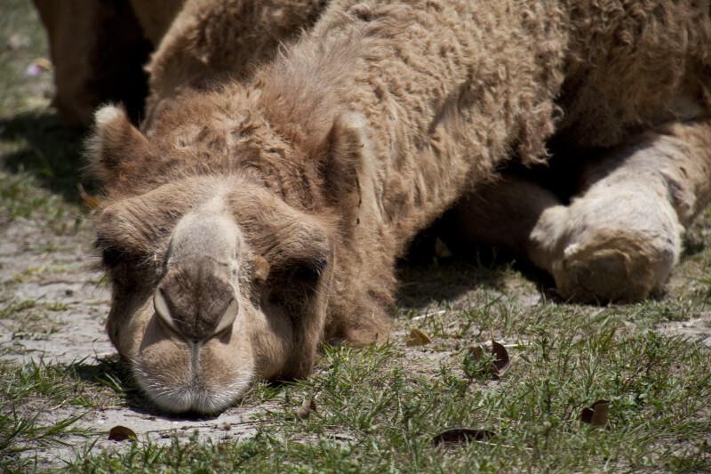 Bactarian Camel