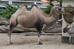 Bactrian Camel Eating Hay from Feeder at the Artis Royal Zoo