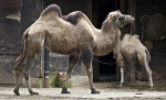 Bactrian Camel Walking