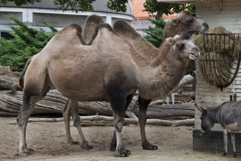 Bactrian Camels at the Artis Royal Zoo