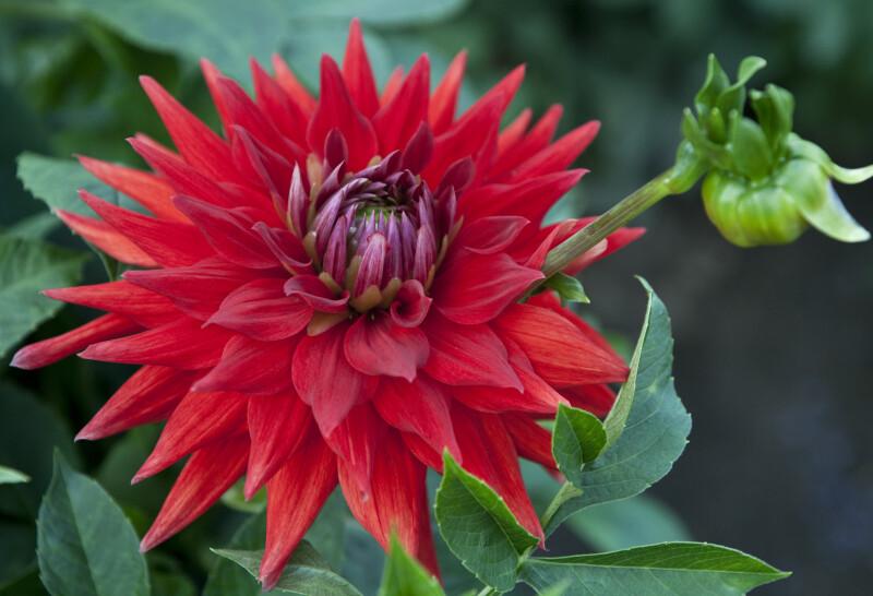 """""""Baeten"""" Dahlia Flower"""