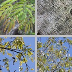 Bahama Lysiloma Trees photographs