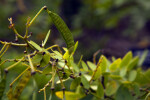 Bahama Senna Seedpod
