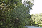 Bahama Strongbark (Bourreria succulenta) Tree