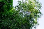 Bahama Strongbark Canopy