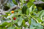 Bahama Strongbark Ripened Berries