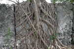 Bahama Strongbark Roots Growing on a Quarry Wall