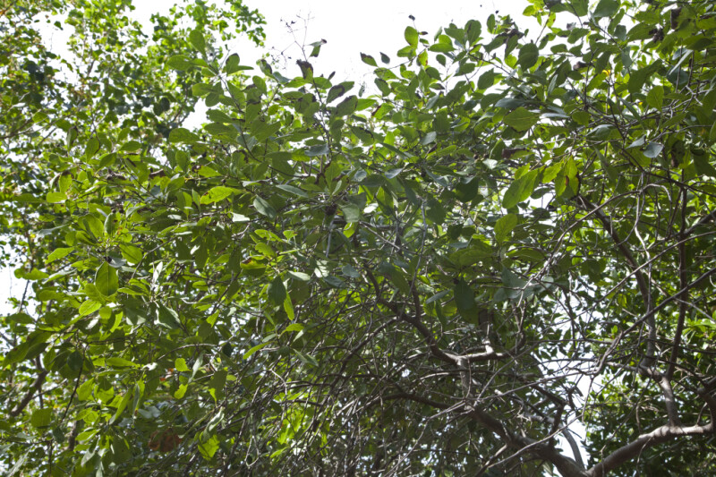 Bahama Strongbark Tree Leaves and Branches