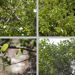 Bahama Strongbark Trees photographs