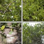 Bahama Strongbark Trees photographs