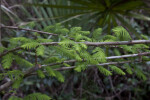 Bald Cypress Branches near Big Cypress Bend Boardwalk