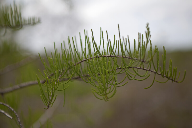 Bald Cypress Leaves Curling Upwards Like Parabolas