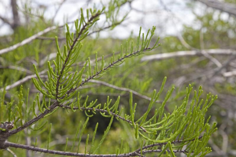 Bald Cypress Leaves Curving Upward