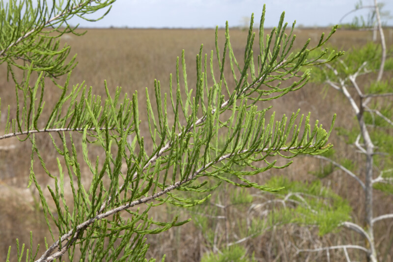 Bald Cypress Leaves Forming Parabola-Like Shapes