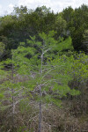 Bald Cypress Tree at Pa-hay-okee Overlook