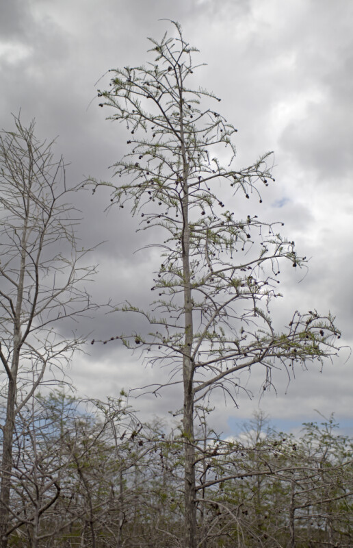 Bald Cypress Tree Pictured Against Grey Clouds at Pa-hay-okee Overlook of Everglades National Park