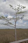 Bald Cypress Tree to the Side of a Boardwalk at Pa-hay-okee Overlook of Everglades National Park