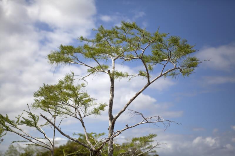 Bald Cypress Tree Top