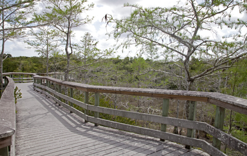 Bald Cypress Trees Along a Boardwalk at Pa-hay-okee Overlook of Everglades National Park
