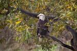 Bald Eagle on Branch