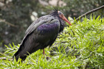 Bald Ibis on Branch