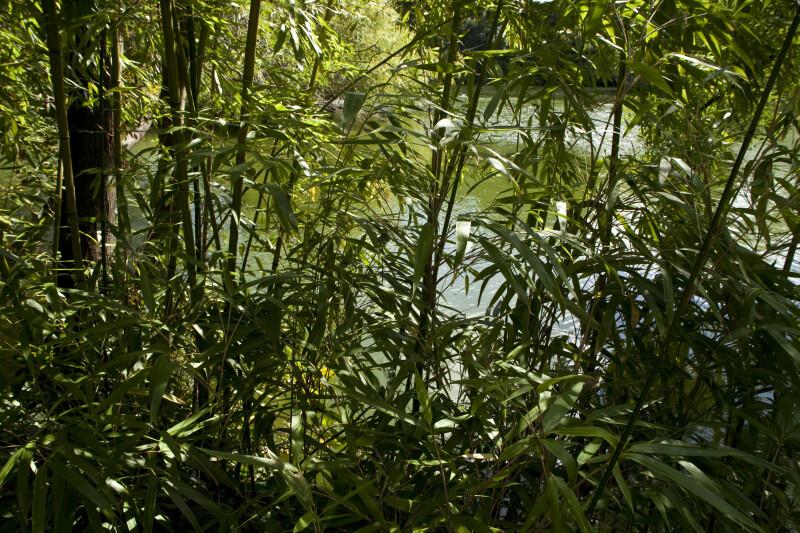 Bamboo by Lake