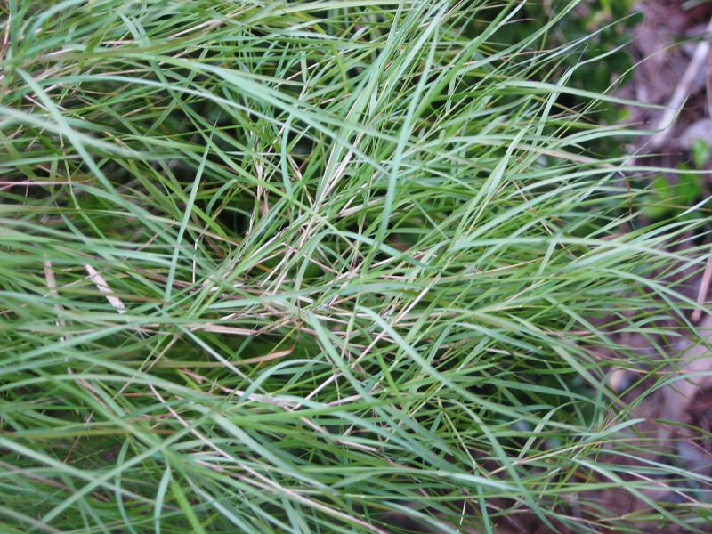 Bamboo Muhly Grass Detail