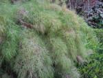 Bamboo Muhly Grass