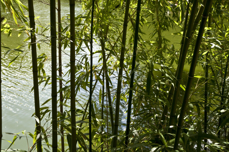 Bamboo on Shore