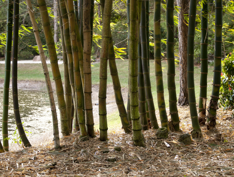 Bamboo Stalks and Fallen Leaves