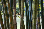 Bamboo Stalks of Various Colors