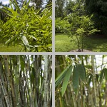 Bamboo photographs