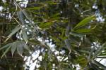 Bambusa Beecheyana Branches