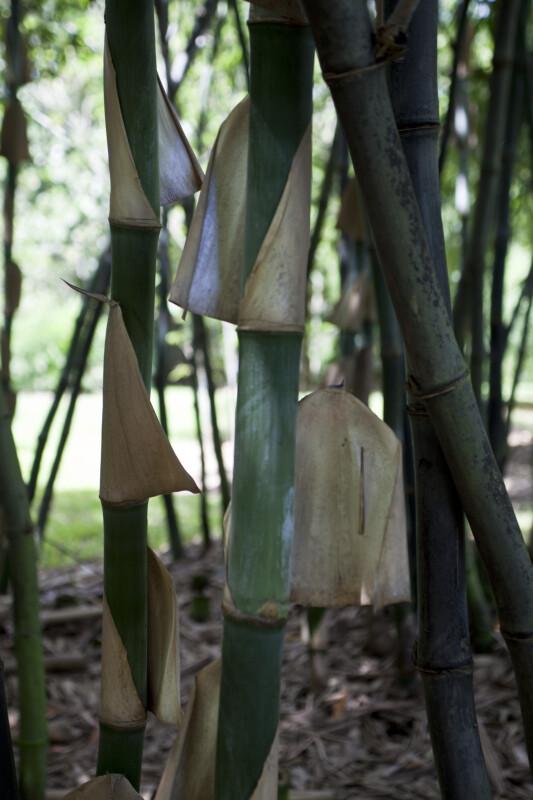 Bambusa Beecheyana