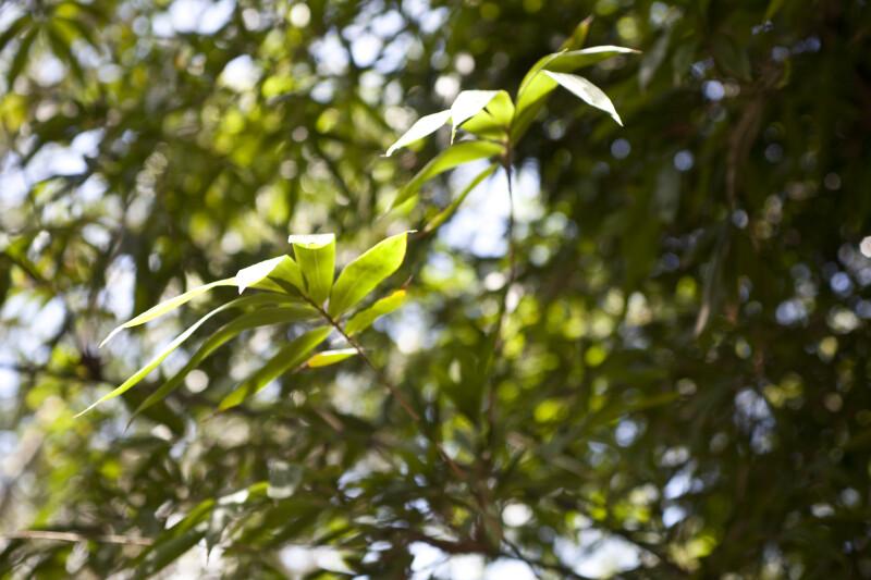 Bambusa Dolichomerithalla