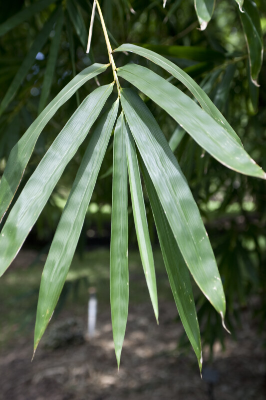 Bambusa Vulgaris Leaves